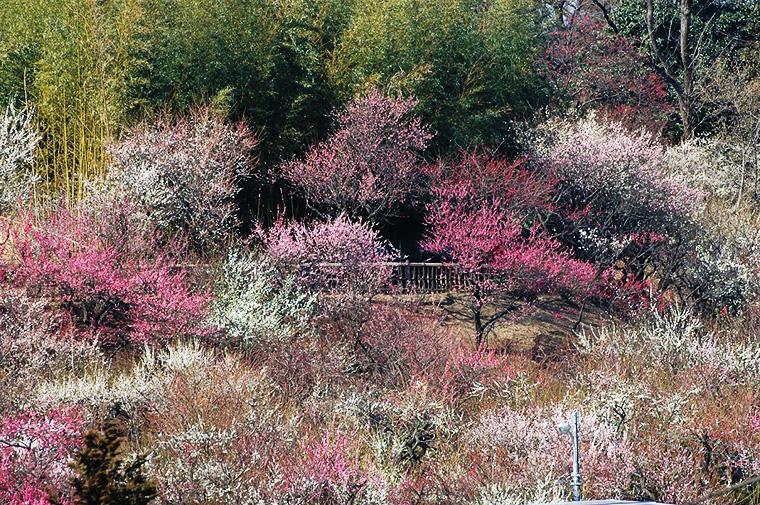 花と緑の振興センター(梅)