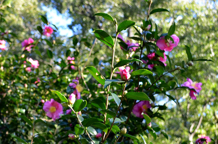 花と緑の振興センター(ツバキ)