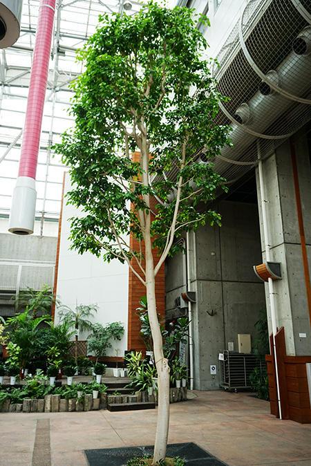 川口緑化センター(ベンジャミン)