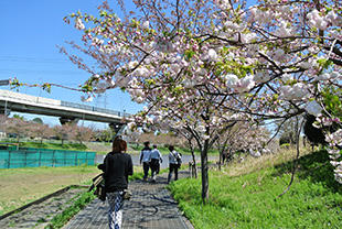 江川グランドの八重桜