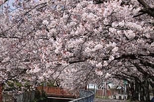 見沼代用水の桜
