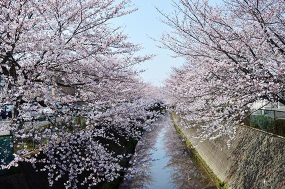 sakura-denugawa-zoi.jpg
