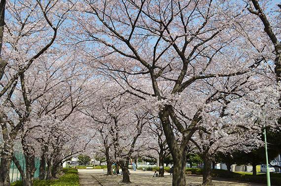 榎戸公園-桜
