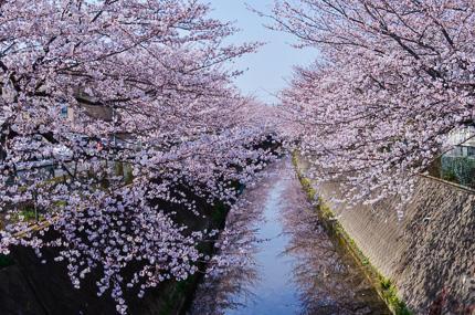 伝右川沿い桜並木