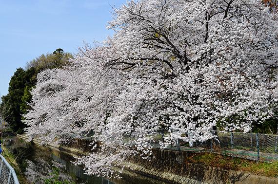見沼用水東縁沿い桜並木