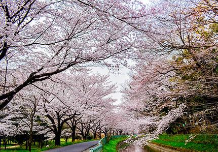 見沼田んぼ桜回廊